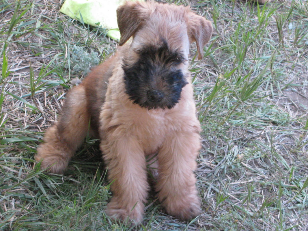 Resources Greater Denver Soft Coated Wheaten Terrier Club