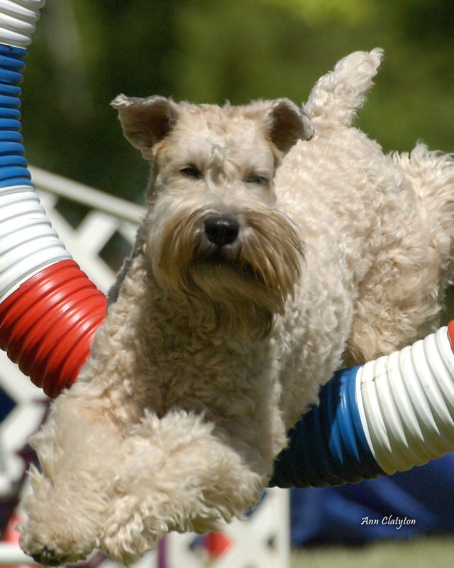 wheaten terrier rescue colorado greater denver soft coated wheaten terrier club greater 3029
