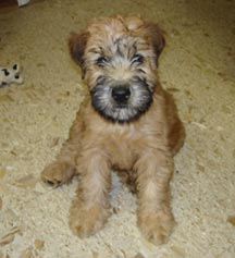 wheaten terrier rescue colorado greater denver soft coated wheaten terrier club greater 2406